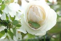 梅雨だから主役交代ね^^(5月18日⑤) - Reon with LR & Roses
