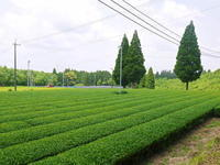菊池水源茶茶摘みの様子(2021)梅雨入りが早く天気と相談しての茶摘みですが今年も良い出来です! - FLCパートナーズストア
