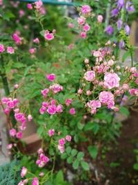 キュートな小輪ばら - ハーブの咲く庭で・・・