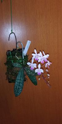 山田さんのファレノ リンデニーワーディアンケース内でよく咲いています。 - 所沢洋蘭会