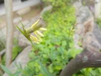 ささやかに咲く - 侘助つれづれ