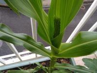 順調に成長中のトウモロコシ - Emptynest