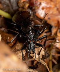 歩行虫、筬虫【交尾するオサムシの一種】 - kawanori-photo