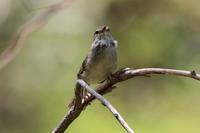 またまたウグイス - 今日の鳥さんⅡ