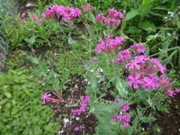 虫取り撫子 - だんご虫の花