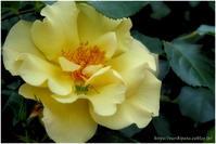 "Spring Roses #027 ""お約束"" @ZUIKO AUTO-MACRO 90mm F2 - ルリビタキの気まぐれPATA*PATA"