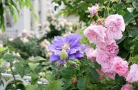 続バラの開花⑩梅雨入りでしょうか・・ - バラとハーブのある暮らし Salon de Roses