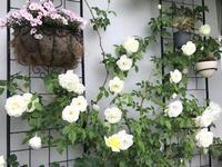 2021.ベランダのバラ - 緑のしずく (ベランダガーデン便り)