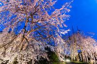 2021桜咲く京都 宇治市植物公園ライトアップ - 花景色-K.W.C. PhotoBlog