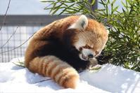 雪じいじ笹を食う・その2 - レッサーパンダ☆もふてく放浪記