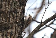 キバシリ(木走) - azure 自然散策 ~自然・季節・野鳥~