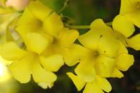 オオキバナカタバミ - かたくち鰯の写真日記2