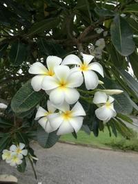 チェンマイの街や野を彩る花々とそのエピソード(第4回) - チェンマイUpdate