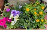 北山ナーセリーで買ってきた花たち - いつとこ気まぐれブログ