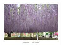 藤が咲く庭 - Minnenfoto