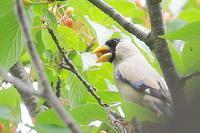 桜の実を食べに来たイカル - 上州自然散策3