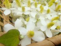 ドクダミの花摘んで… - 侘助つれづれ