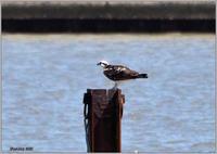 ミサゴが杭から飛び出して竹竿へ - 野鳥の素顔 <野鳥と日々の出来事>