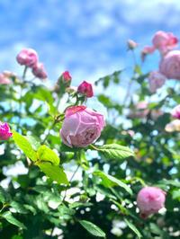 土砂降り前のバラ達🌹 - 薪割りマコのバラの庭