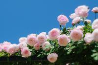 薔薇見頃始まりの頃4 - 光の 音色を聞きながら Ⅵ
