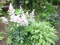 アスチルベ - だんご虫の花