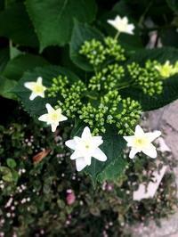 紫陽花 - ハーブのある暮らし