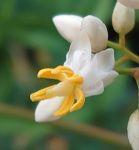 南天の花 - うまこの天袋
