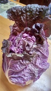 紫奏子(むらさきそうし)という白菜 - 井ノ中カワズの井戸端ばなし
