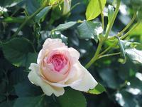 薔薇見頃始まりの頃5 - 光の 音色を聞きながら Ⅵ