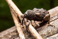 斑脚象鼻虫【マダラアシゾウムシ】 - kawanori-photo