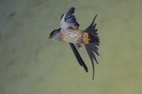 コシアカツバメ(腰赤燕)、飛翔 - 野鳥などの撮影記録