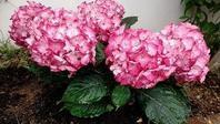 花を植える教室/ マイ紫陽花/生徒様のお庭 - ハーブ教室 と カフェ ~chant rose シャンテ・ロゼ~       植物の不思議な力に守られる暮らし