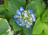 紫陽花の花 - ローザのアトリエ便り
