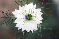 ニゲラ - さぬき風花