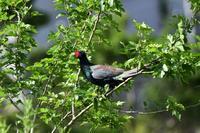 桑の木にとまるキジさん - 鳥と共に日々是好日③