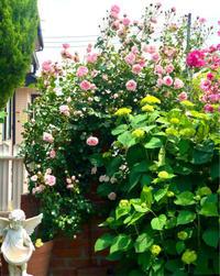 てるてる坊主と雨の雫ネイル♡と今日のガーデン♫ - 薪割りマコのバラの庭