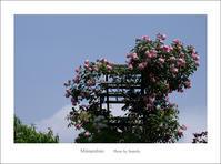 バラ - Minnenfoto