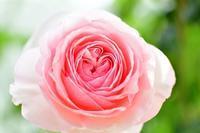 5月の庭の薔薇 2021 - お茶の時間にしましょうか-キャロ&ローラのちいさなまいにち- Caroline & Laura's tea break
