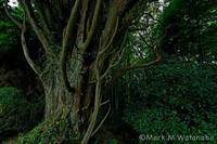 神々しい老樹 - Mark.M.Watanabeの熊本撮影紀行