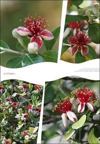 フェイジョアの花 - ひとりあそび