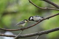 シジュウカラの巣立ちビナ - 今日も鳥を捜してます