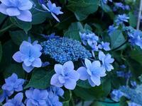紫陽花の季節 - Hair Produce TIARE