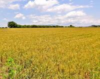 『麦秋至』に郊外の畑でブラ小父さま - 星の小父さまフォトつづり