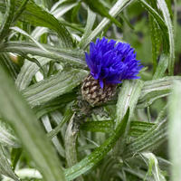 庭に咲く青い花たち - Bleu Belle Fleur☆ブルーベルフルール