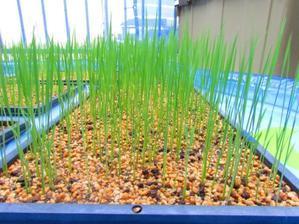 田植えをします - 東浦『自然環境学習の森』(ごろちんの森)応援ブログ