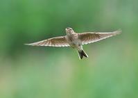 ヒバリ - くまさんの二人で鳥撮り