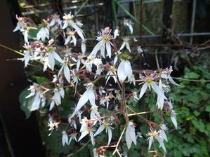 英彦山のオオヤマレンゲ、咲き始めましたよ~ -