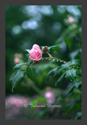 雨の日の薔薇たち3 - Photo.Color