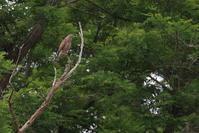 一回り【サシバ・ホトトギス・セッカ・キジ・コアジサシ】 - 鳥観日和