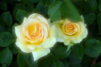 曇りの日の薔薇たち1 - 光の 音色を聞きながら Ⅵ